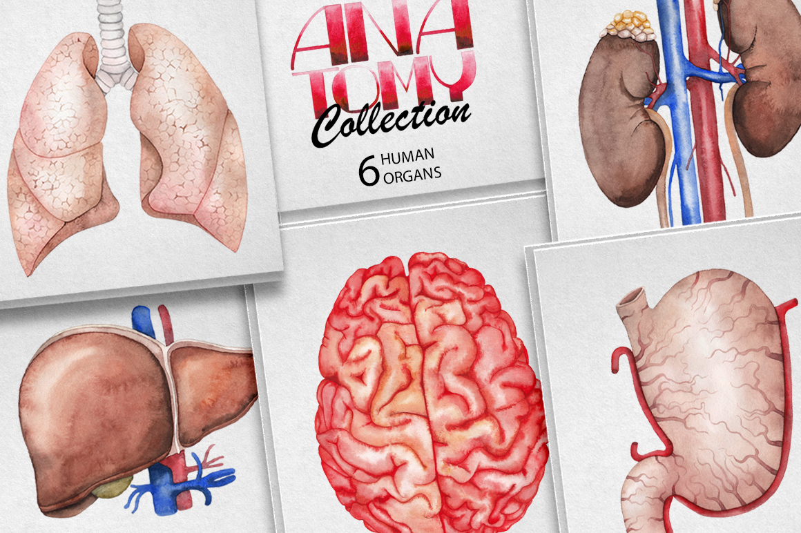 Watercolor human organs